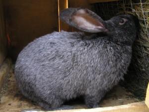 Полтавський, радянський сріблястий, порода кроликів, фото і опис.