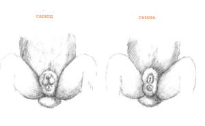 Как самому в домашних условиях определить пол декоративного, обычного кролика. Фото и описание.