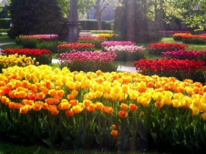 Species tulips varieties of flowers. Diseases of tulips, and how to deal with them. Treatment of patients with tulips