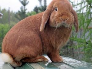Карликовий, декоративний, французький кролик висловухий баран. Фото і опис.