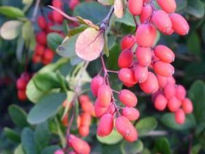 Лікувальні властивості барбарису звичайного, листя, ягоди. Протипоказання, опис.