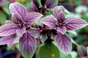 Правильне вирощування базиліка з насіння у відкритому грунті або на підвіконні, в домашніх умовах.
