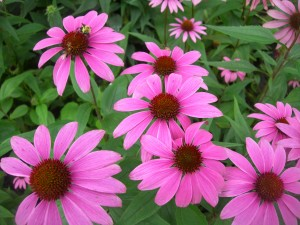 Flowers Echinacea photo. The flower of Echinacea cultivation in the home.
