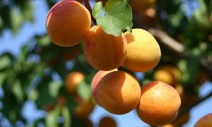 Как правильно обрезать молодое, старое дерево абрикоса. Когда нужно делать обрезку самостоятельно, весной / осенью.