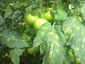 Кладоспоріоз помідорів / томатів, фото і опис.