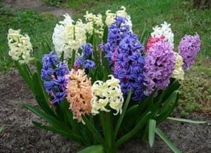Гіацинт, догляд та вирощування в домашніх умовах, фото, опис. Як удобрювати.