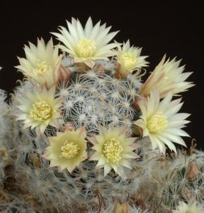 Кімнатний кактус маммілярія квітуча, фото, опис, як доглядати в домашніх умовах, поливати.