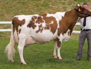 Коровы айширской породы, фото, характеристика и описание.