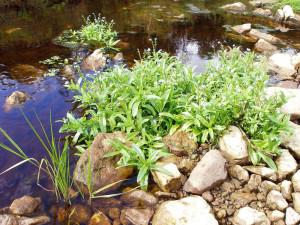 Незабудка болотная, фото, описание, применение в ландшафтном дизайне и обустройстве водоема.