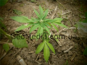 How to prepare the ground for planting hemp, acidity, best land for growing marijuana.
