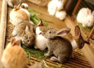 Болезнь кроликов сальмонеллез, симптомы, лечение и профилактика в домашних условиях, фото.