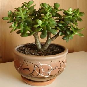 Красива кімнатна рослина, грошове дерево, фото, опис.