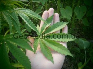 The growing season of hemp (marijuana), fertilizers. Photos, description.