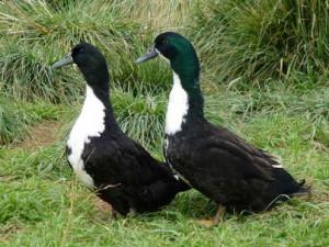 Фото, описание, характеристика породы белогрудой утки для домашнего разведения.
