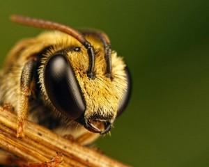 Характеристика, абхазька бджола, фото, опис, розведення в домашніх умовах.