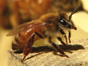 Як виглядає африканська бджола вбивця, фото, опис породи.