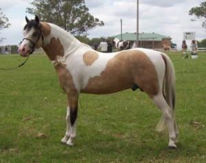 Фото, описание, характеристика породы австралийского пони.