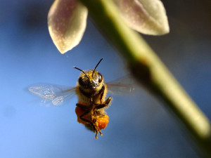 Характеристика, бакфастская порода пчел, описание, фото.