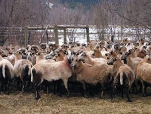 Порода овец - Барбадосская, описание, фото, разведение в домашних условиях.