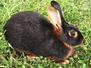 Порода кролика черно огненный, фото, описание, характеристики.