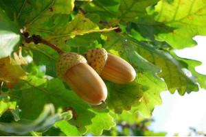 Листья дуба, от каких болезней лечит и помогает.