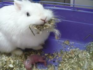 Гніздо для кролиці, прибирання, догляд за новонародженими кроленятами, опис, фото.