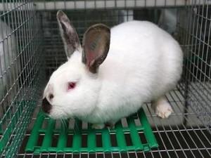 Красиві, німецькі кролики хіплус, порода, опис, фото і характеристика.