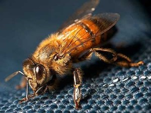 Самая маленькая порода пчел - карликовая. Фото, описание.