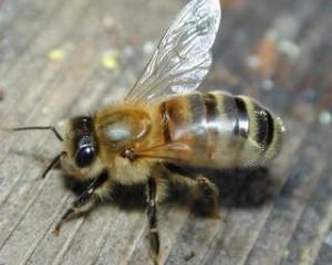 Характеристика, опис, карпатська бджола, фото. Розведення в домашніх умовах.