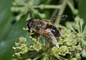 Характеристика для розведення та утримання жовтої кавказької бджоли, фото.