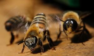 Характеристика, китайская восковая пчела, описание породы, фото.