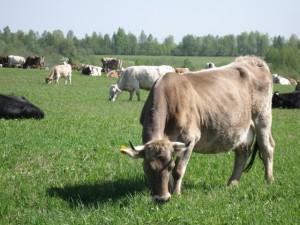 Молочная порода коров костромская, фото, описание, характеристика для домашнего разведения.