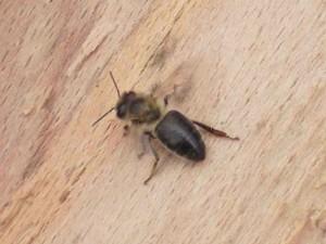 Дика темна лісова бджола, фото, опис.