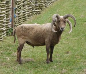 Овца многорожка, описание, фото.