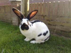 Порода кроликов немецкий пестрый велика, фото, описание, характеристика.