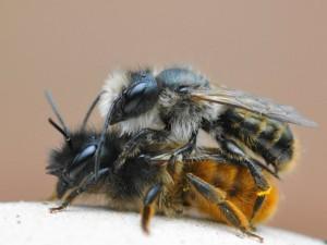 Как выглядит немецкая пчела, фото, описание, характеристика породы.