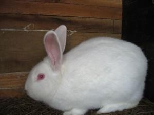 Порода панон, білий кролик, опис, фото і характеристика для домашнього розведення.