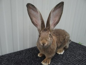 Немецкая порода кроликов ризен, разведение, фото, описание и характеристика.