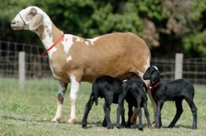Бразильская порода овец - Санта-Инес, характеристика, описание, фото.