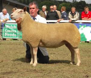 Мясная порода овец - Шароле, описание, фото, характеристика.