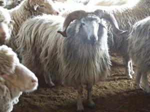 Описание, фото, характеристика овцы для домашнего и промышленного разведения.