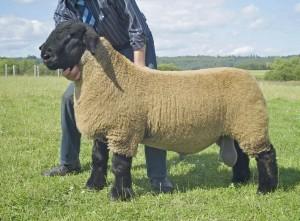 Порода овец для домашнего разведения и бизнеса - Суффольк, описание, характеристика, фото.