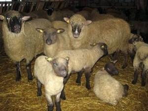 Вівця Латвійська Темноголова, опис, фото, характеристика для розведення в домашніх умовах.