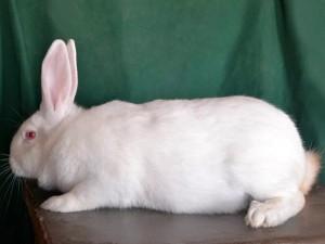 Порода кролів - термонський білий, фото, опис, характеристика для домашнього розведення.