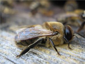Как выглядят пчелы трутни, фото, описание.
