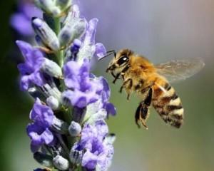 Порода бджіл для домашнього розведення - українська степова, фото, опис, характеристика.