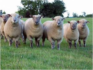 Характеристика породы овец для домашнего разведения, фото, описание.