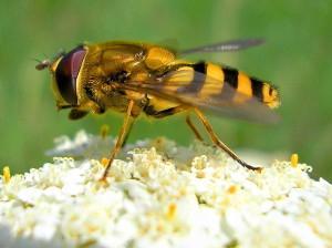Как выглядит земляная пчела, фото, описание породы.