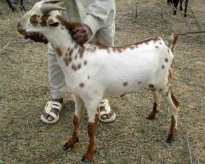 Фото, описание, коза индийской местности, порода Барбари, характеристика для домашнего разведения и содержания.