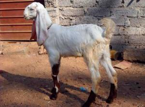 Фото, описание индийской породы коз Джамнапари, характеристика для домашнего разведения и содержания.